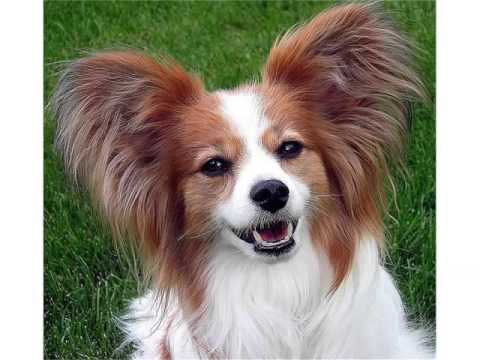 papillon-dog-breed-|-collcetion-of-pictures-of-breed-papillon-dogs