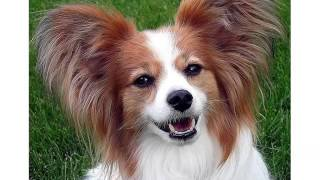 Papillon Dog Breed   Collcetion Of Pictures Of Breed Papillon Dogs