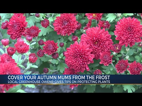 Protect Your Autumn Mums from the Frost