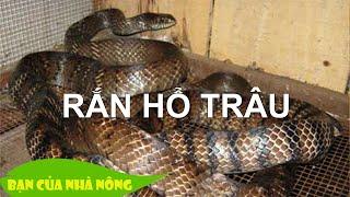 Trang trại triệu đô nhờ nuôi rắn hổ trâu thương phẩm