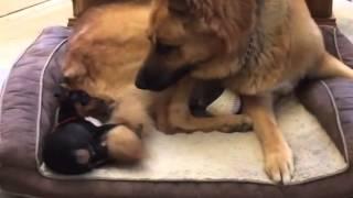 Min Pin Loves German Shepherd's Tail