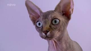 8. díl  O kočičím plemeni Sphynx | Vše o kočkách