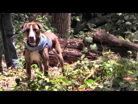 Tooch Tennessee Treeing Brindle Hound - ADOPTED