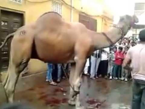 Camel Run On Public, After Cutting Throat Qurbani 2014