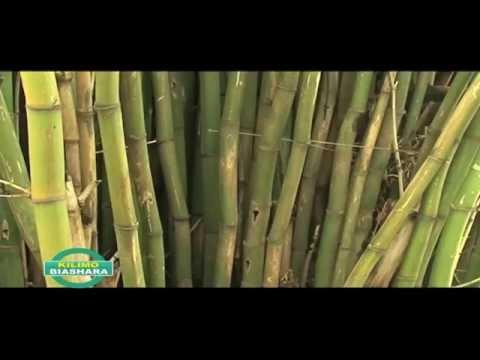 BAMBOO FARMING IN KENYA PART 2 OF 3