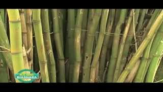 BAMBOO FARMING IN KENYA PART 2 OF 3