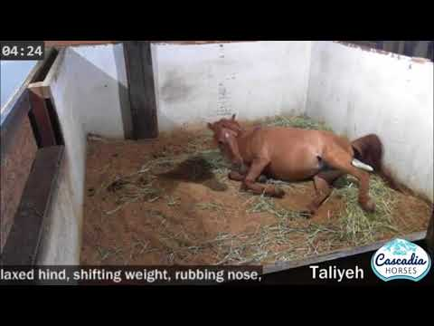 Taliyeh, the red dun Caspian mare gives birth to a red dun filly!