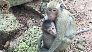Poor baby monkey cry loudly because mom tired taking care