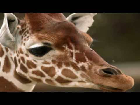 LIVE FEED: April The Giraffe ANIMAL ADVENTURE PARK GIRAFFE CAM LiveChat (24/7)