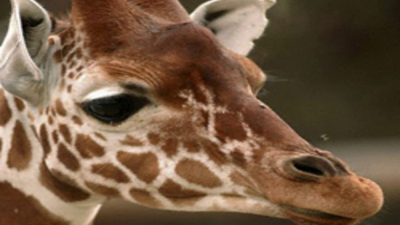 April the giraffe live cam youtube - Live Feed April The Giraffe Animal Adventure Park Giraffe Cam Livechat 24 7