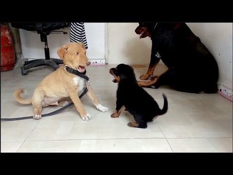 Rottweiler puppy Fight with Master Chipu : [Diana and Haachi ]