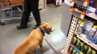 R.i.p. - Kellum - Dog Dying Of Cancer Visits Home Depot - Kellum Still Needs Foster Home