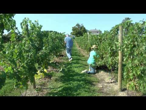 Gruner Harvest in Lake Erie Wine Country for New Mazza Wine