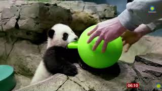 Xiao Qi Ji (baby Panda) Makes His National Zoo Online Debut (USA) - BBC News - 28th January 2021