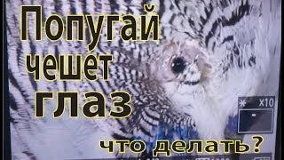 Серия 12. Что делать если  у попугая чешется глаз
