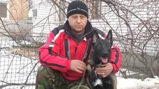 О породе Малинуа, или Бельгийская овчарка(КСУ на ТВ (UKU on TV) 5 канал, программа