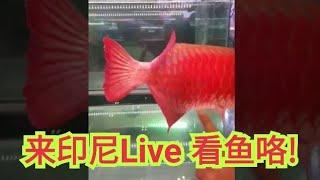 现场Live in indonesia印尼 红龙鱼 arowana, aquascape, louhan 水草玩家 花罗汉