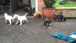Bull Terrier X Lurcher Puppies