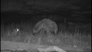 Djuma: Hyena sniffing all around Hosana male leopard behind the pan - 04:07 - 07/11/19
