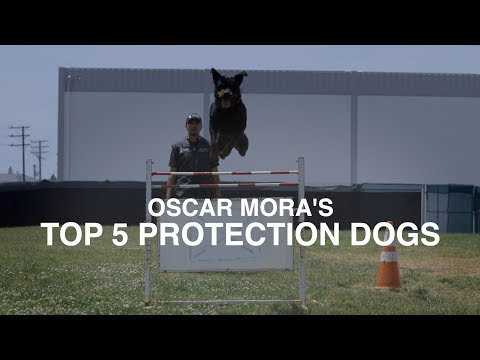 TOP 5 PROTECTION DOG BREEDS: OSCAR MORA