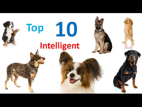 top-10-intelligent-dog-breeds-in-the-world-–-world's-smartest-dog-breeds