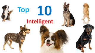 Top 10 Intelligent Dog Breeds In The World – World's Smartest Dog Breeds