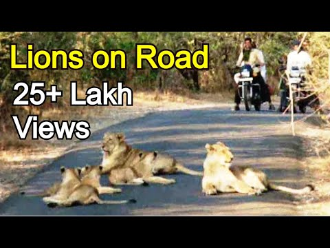 LOOK UNBELIEVABLE VIDEO Sasan Gir Road closed due to Rare Asiatic lion pride roaming on main road