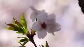 さくら2019 #鶫真衣#さくら#花は咲く~春よ来い #SONY #RX10M4 で...