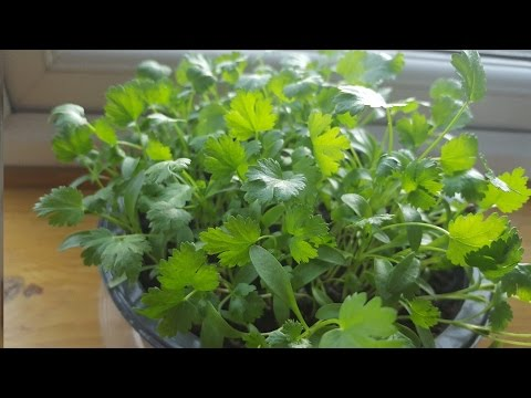 How to grow Coriander at home