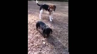 Dachshund Vs Beagle