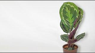 Calathea roseopicta - Korbmarante, Prayer Plant