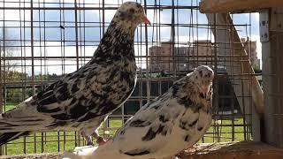 Бакинские голуби мраморные в Москве. Baku Pigeons Grizzled In Moscow 79255022509
