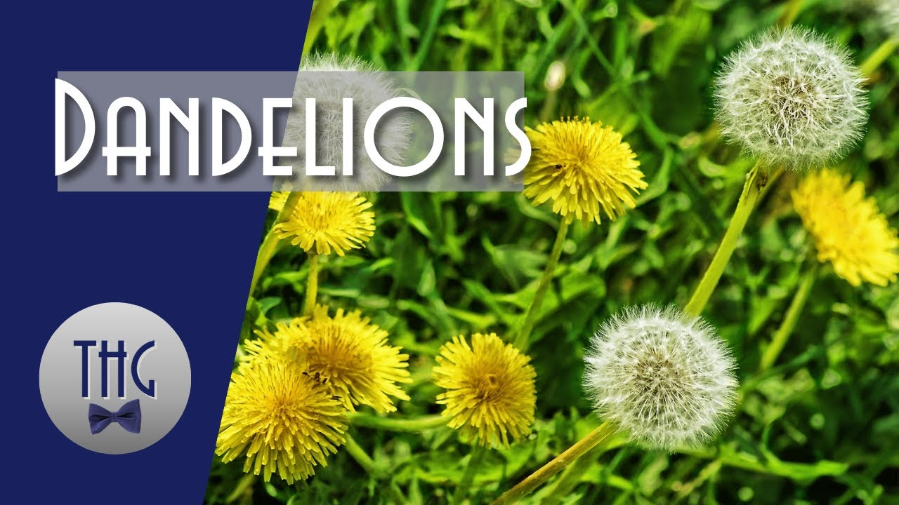 Dandelions and Civilization