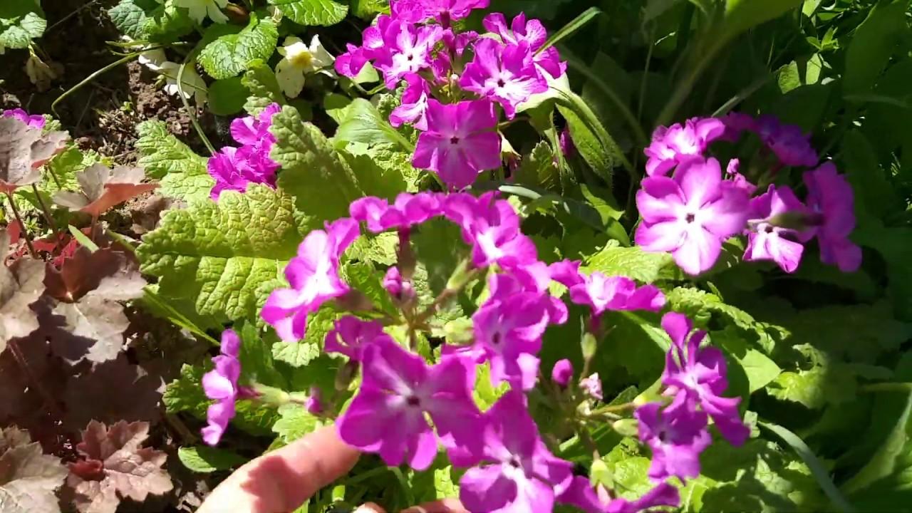 Цветы мая/Самые неприхотливые многолетники в моем саду- примулы, купена и другие