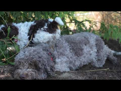 Lagotto Puppies in the Forest