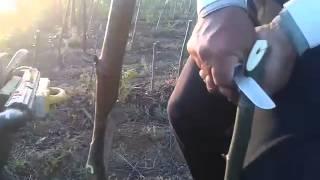 USA-şili ceviz aşısı - walnut grafting