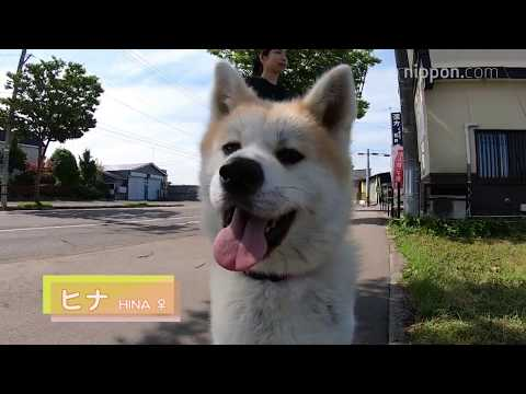 Akita Dogs in Ōdate: Hina Charms Hotel Guests | Nippon.com: Japan in Video