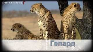 Животные на букву Г (1)