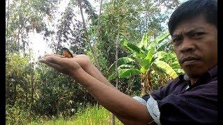 Pikat burung Cabe cabean menggunakan suara mp3