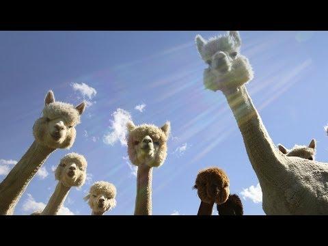 IWAYA羊駝 | Doovi