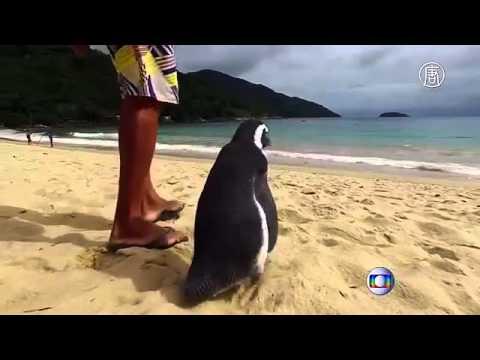 Чудеса Бразилец спас пингвина, и теперь он приплывает каждый год
