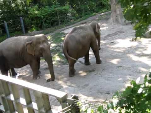 Rhinoceros peeing gallons