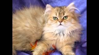 Thế giới loài mèo: Kỳ 2 – Ba Tư mặt tịt