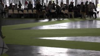 World Dog Show Paris 2011 Saluki champion class
