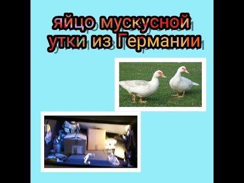 Яйцо мускусной утки из Германии. - YouTube