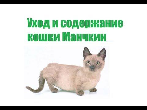 Кошка Манчкин & Описание, Уход И Содержание Кошки Манчкин. Ветклиника Био Вет
