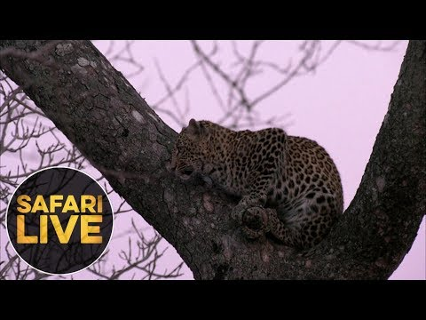 safariLIVE - Sunrise Safari - August 17, 2018