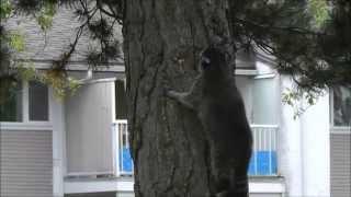 В Канаде дикие животные на улице.Енотики .