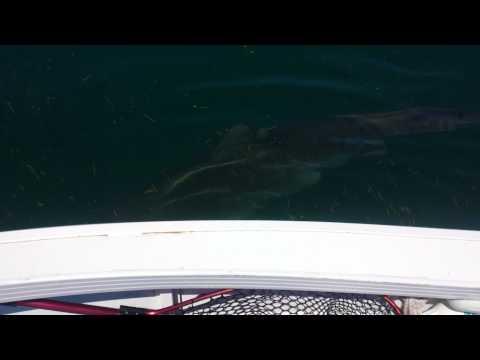 Huge TIGER SHARK, PEEL ISLAND circles boat..