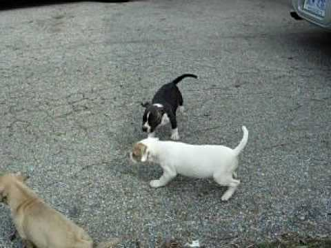 Sodus Michigan Pit Bull Terrrier Puppies